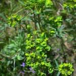 Leafy-Spurge