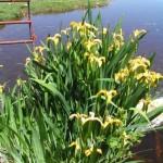 Yellowflag-Iris